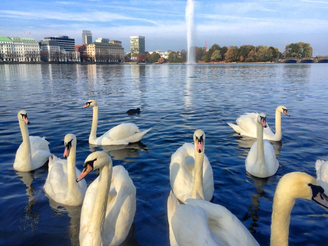 Hamburg Sehenswürdigkeiten: Schwäne auf der Hambuger Binnenalster